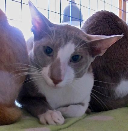 sphynx cat breeds