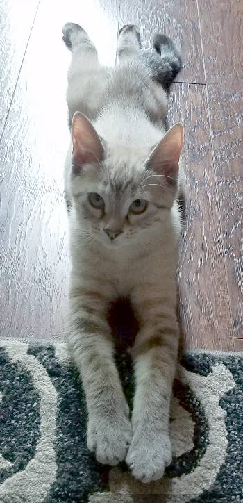 Xena aka Energizer Kitty